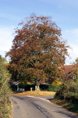 Photo of Copper Beech Tree in Privett today